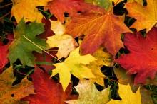 6959546-autumn-leaves-wallpaper-4527